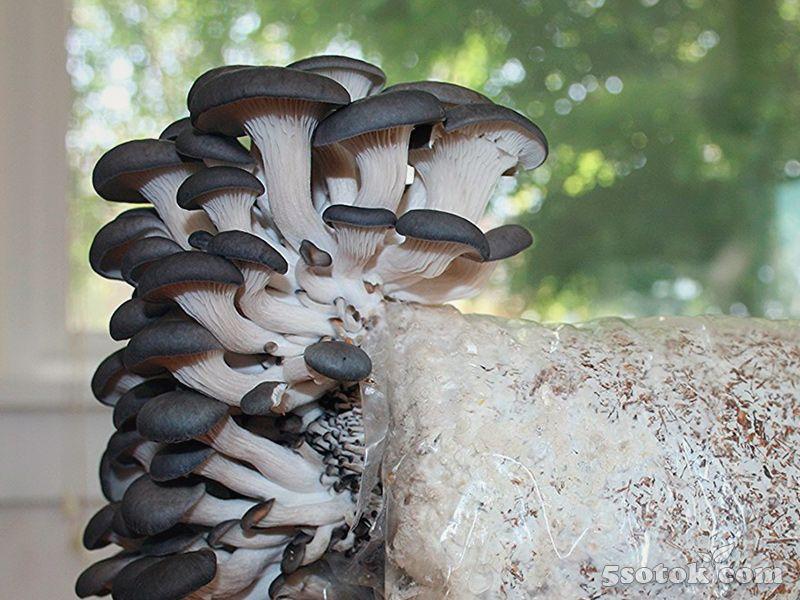 Картинки грибы вешенки обыкновенной